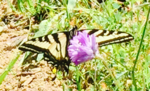 WesternTigerSwallowtail.png